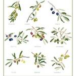 grille broderie olives